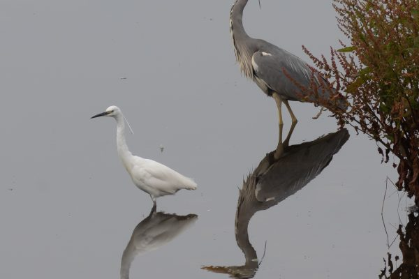 Larick Campsite - Nature Lovers - Grey Heron and Little Egret