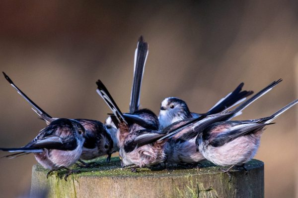 Larick Campsite - Nature Lovers - Long Tailed Tits