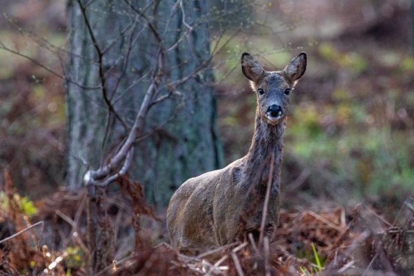 Larick Campsite - Nature Lovers - Roe Deer