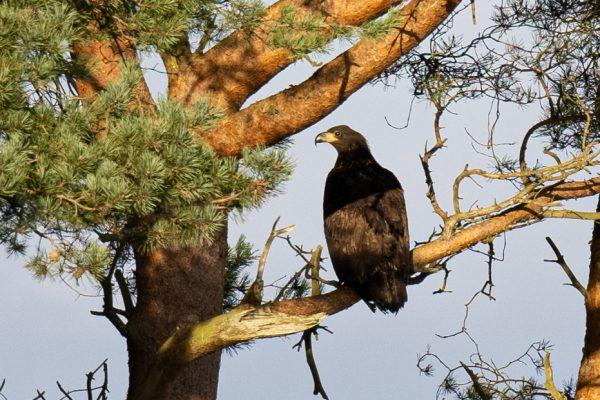 Larick Campsite - Nature Lovers - Sea Eagle 2
