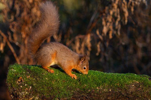 Larick Campsite - Nature Lovers - Squirrel 2